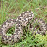 Worth losing a finger for: the Anatolian meadow viper