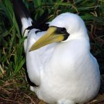 Un-masking the true identity of the Tasman Booby