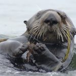 Searching for the Southern Sea Otter