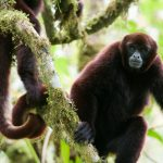 From saddle cover to media sensation: the story of the yellow-tailed woolly monkey