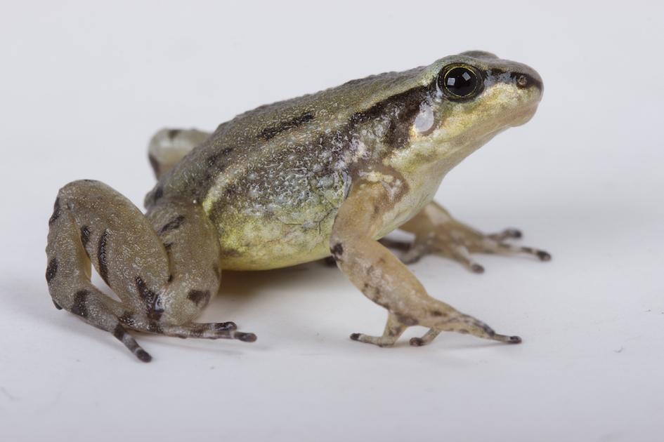 Quito Rocket frog